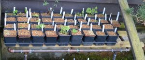 The work of a decent husband - Louise's seedlings protected by a copper frame bench