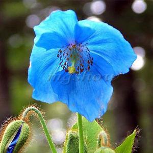 meconopsis-benticufolia