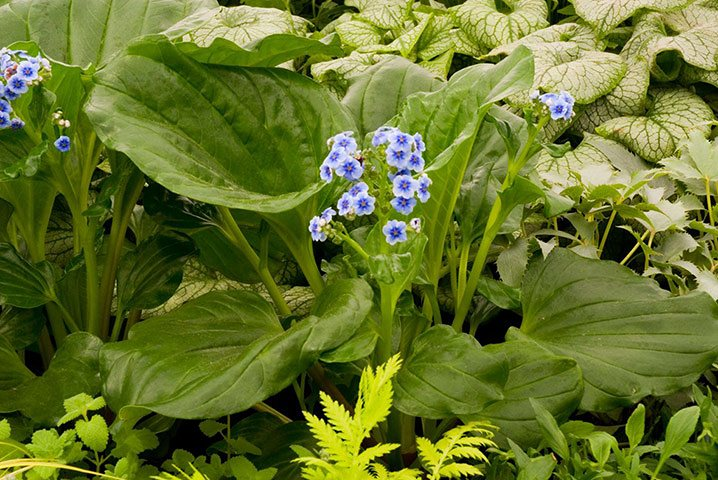 Chatham Island Forget me Not