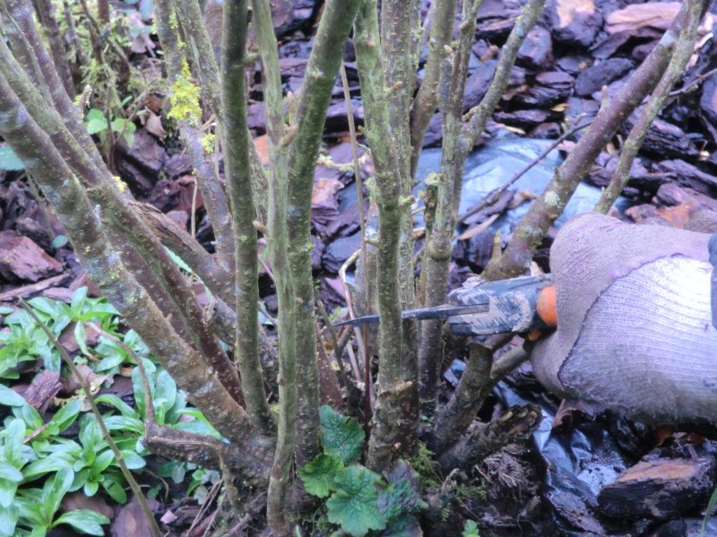 Blackcurrant pruning