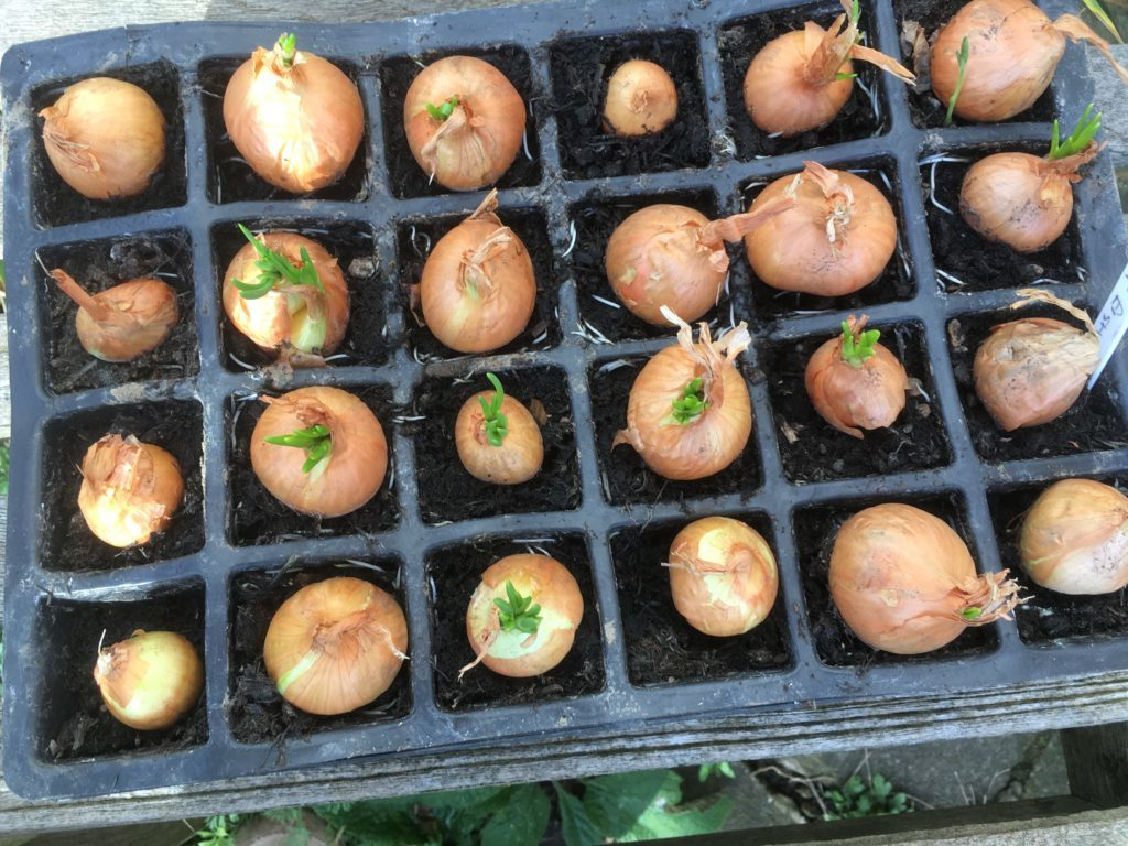 shallots in a tray