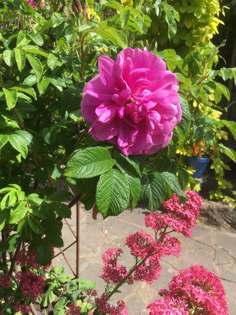 Rosa rugosa Roseraie de l'Hay