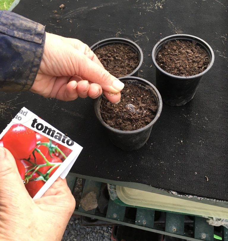 Sowing tomato seeds