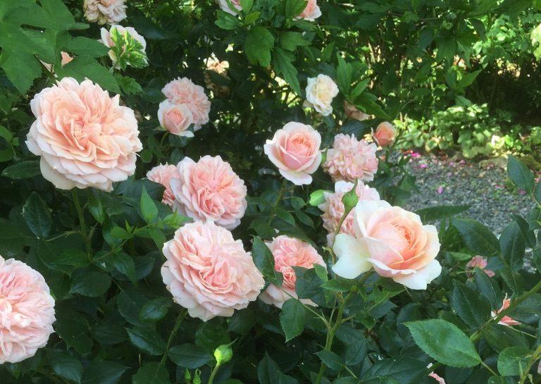 Rose 'Joie de Vivre