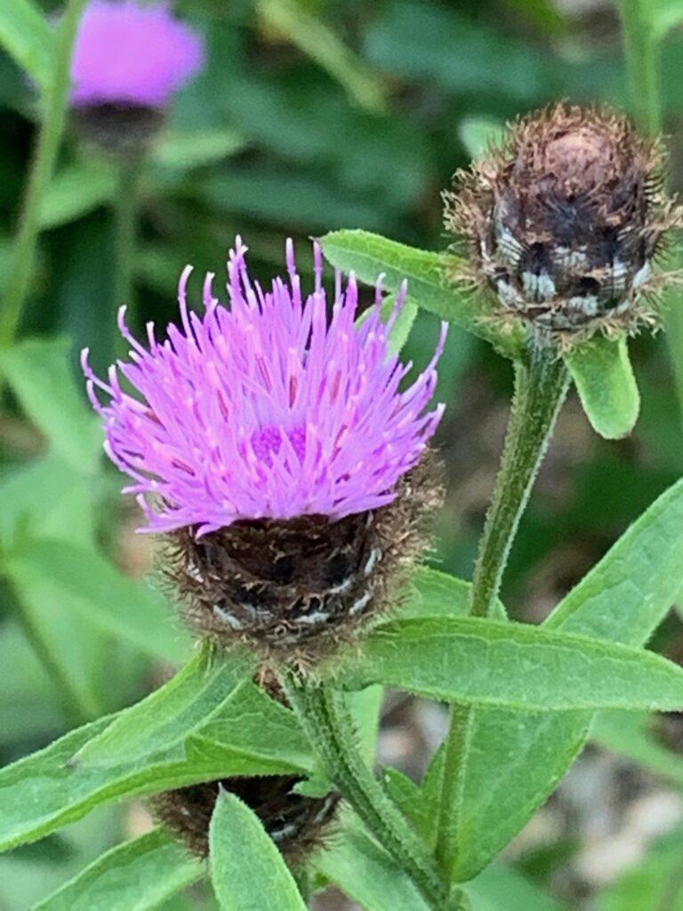 Black knapweed