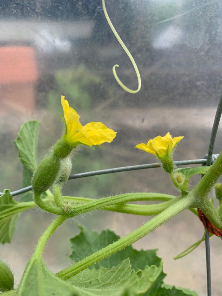 Melon flowers