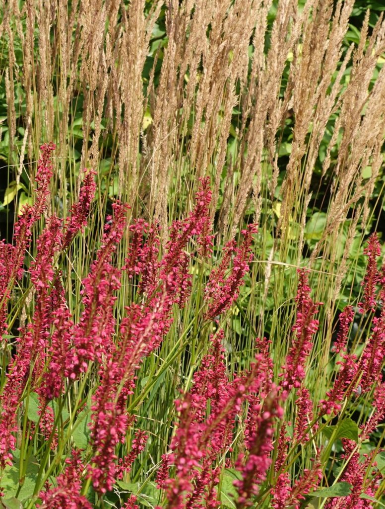 Persicaria and Calamagrostis