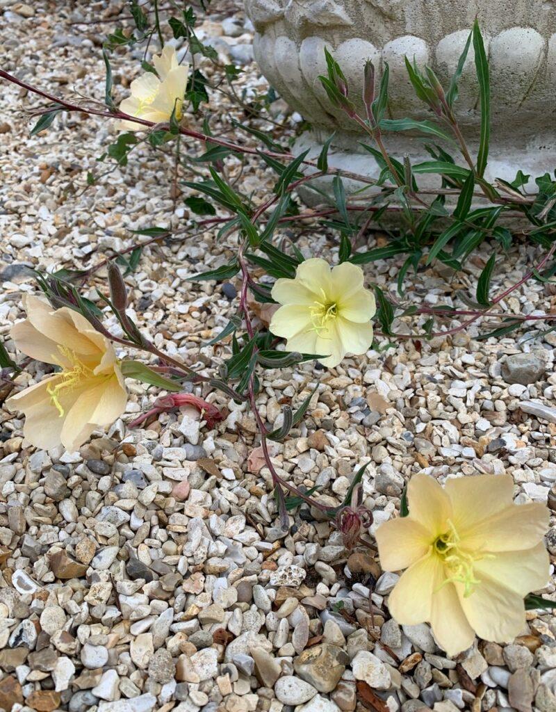 Oenothera stricta sulphurea