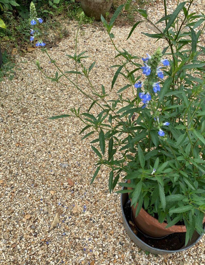 Salvia uglinosa