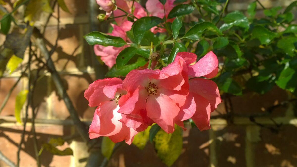 Rosa Flower Carpet coral