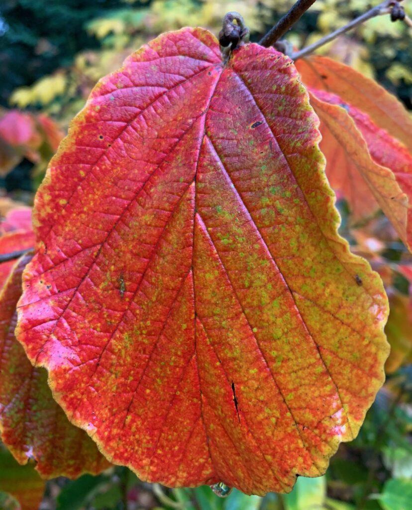 Hamamelis autumn colour