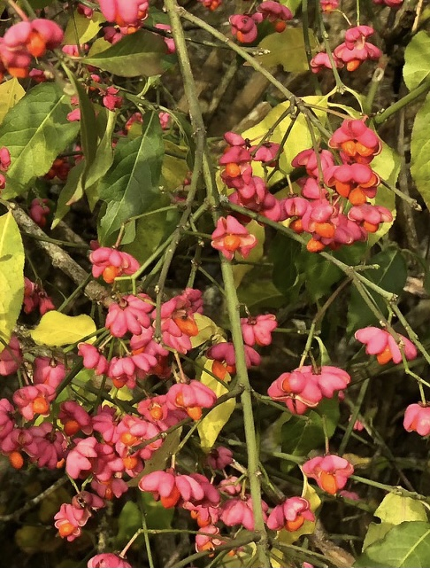 Euonymus euoropea spindle