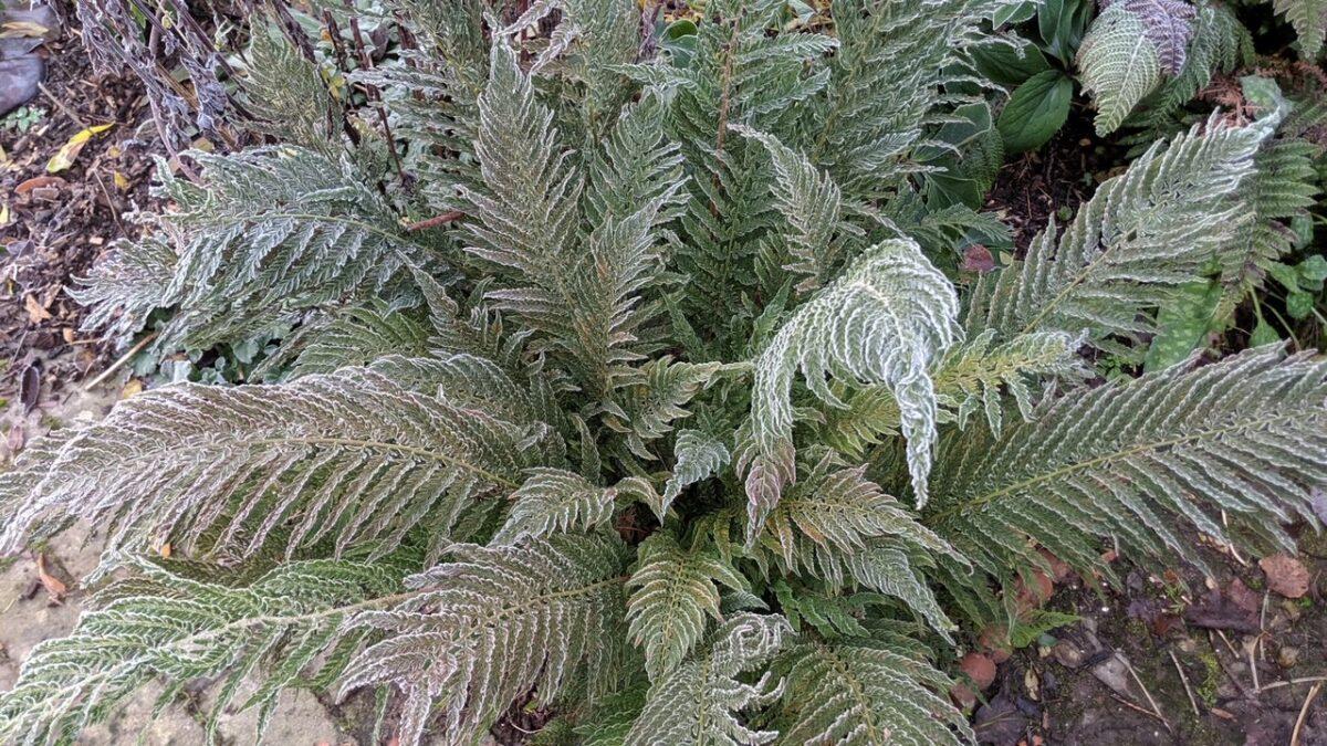 Polystichum setiferum 'Pulcherrimum Bevis'