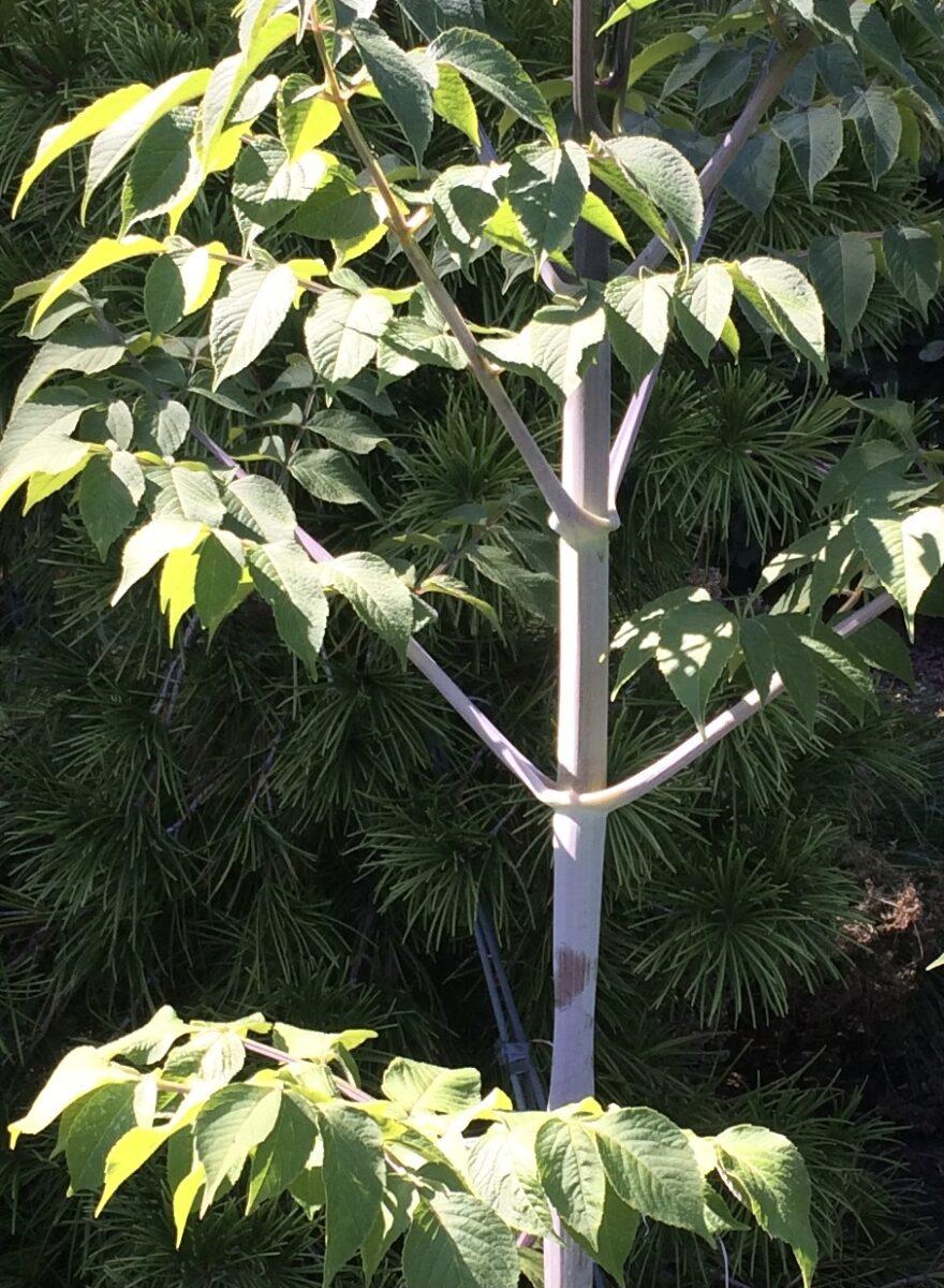 Dahlia imperialis