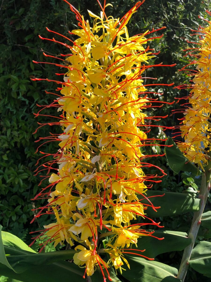 Hedychium gardnerianum - ginger lily