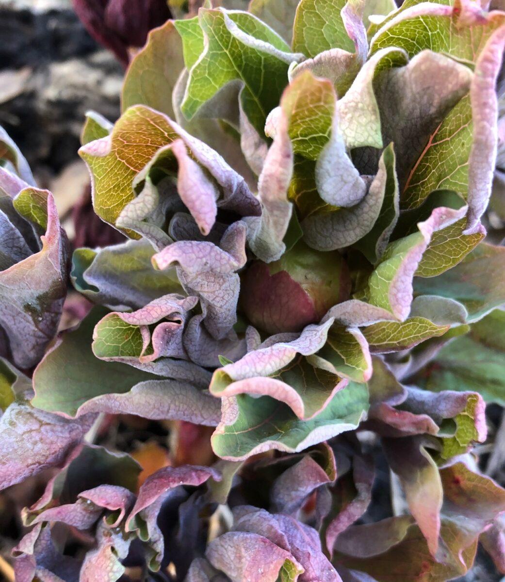 Paeonia mascula bud