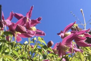 Clematis alpina 'Ruby'