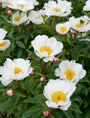 Paeonia lactiflora 'White Wings' copyright Claire Austin whose stunning new book on peonies is just out. Link at the end.