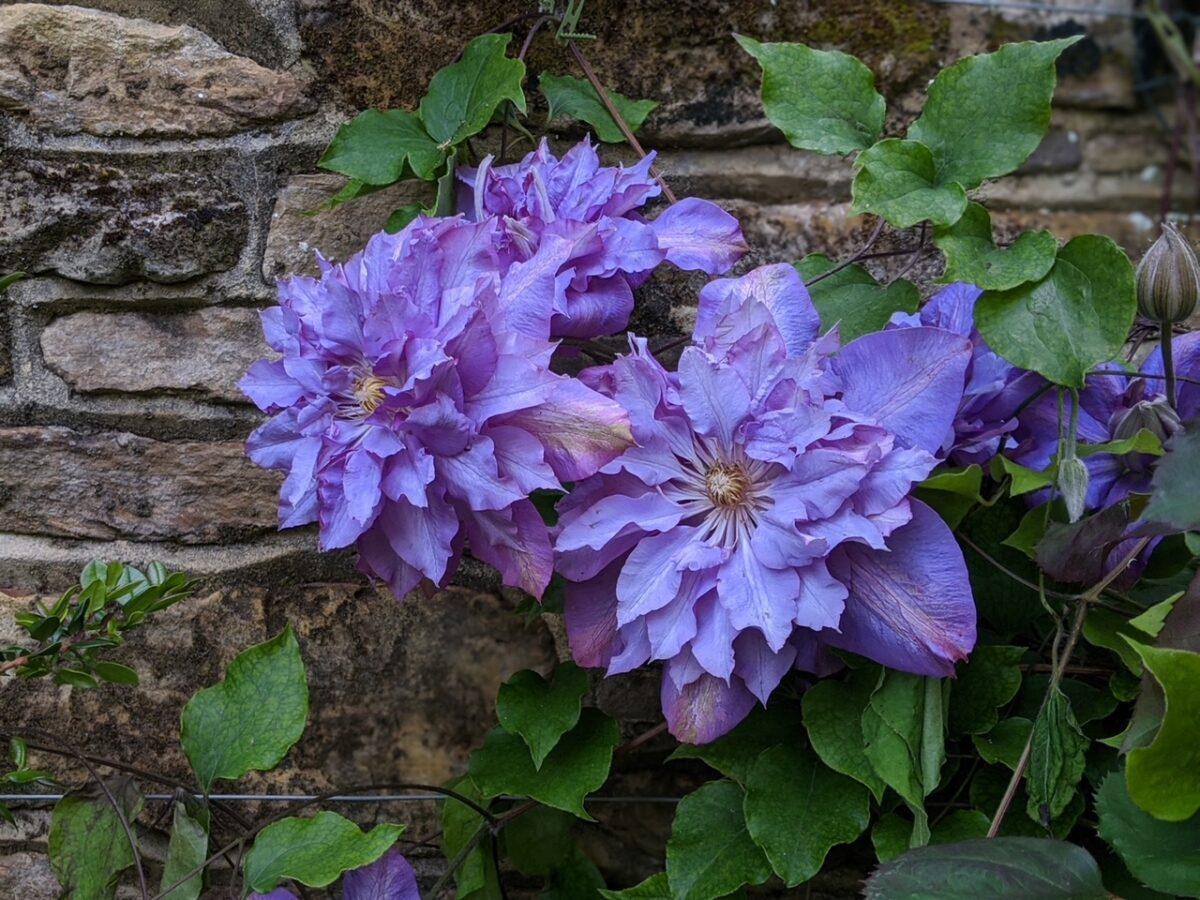 Clematis 'Vyvyan Pannell'