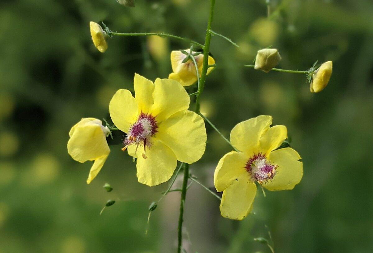 Verbascum roripifolium