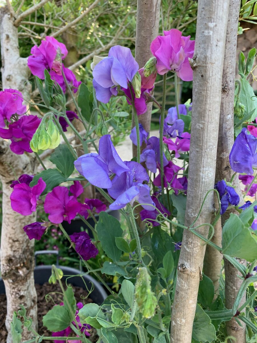 Sweet pea 'Supersonic'