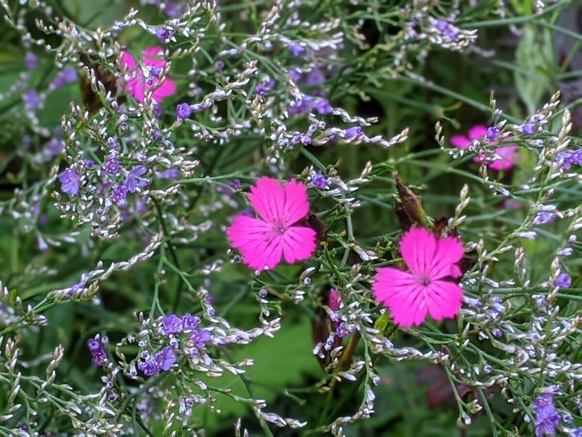 Limonium gmelinii subsp Hungaricum