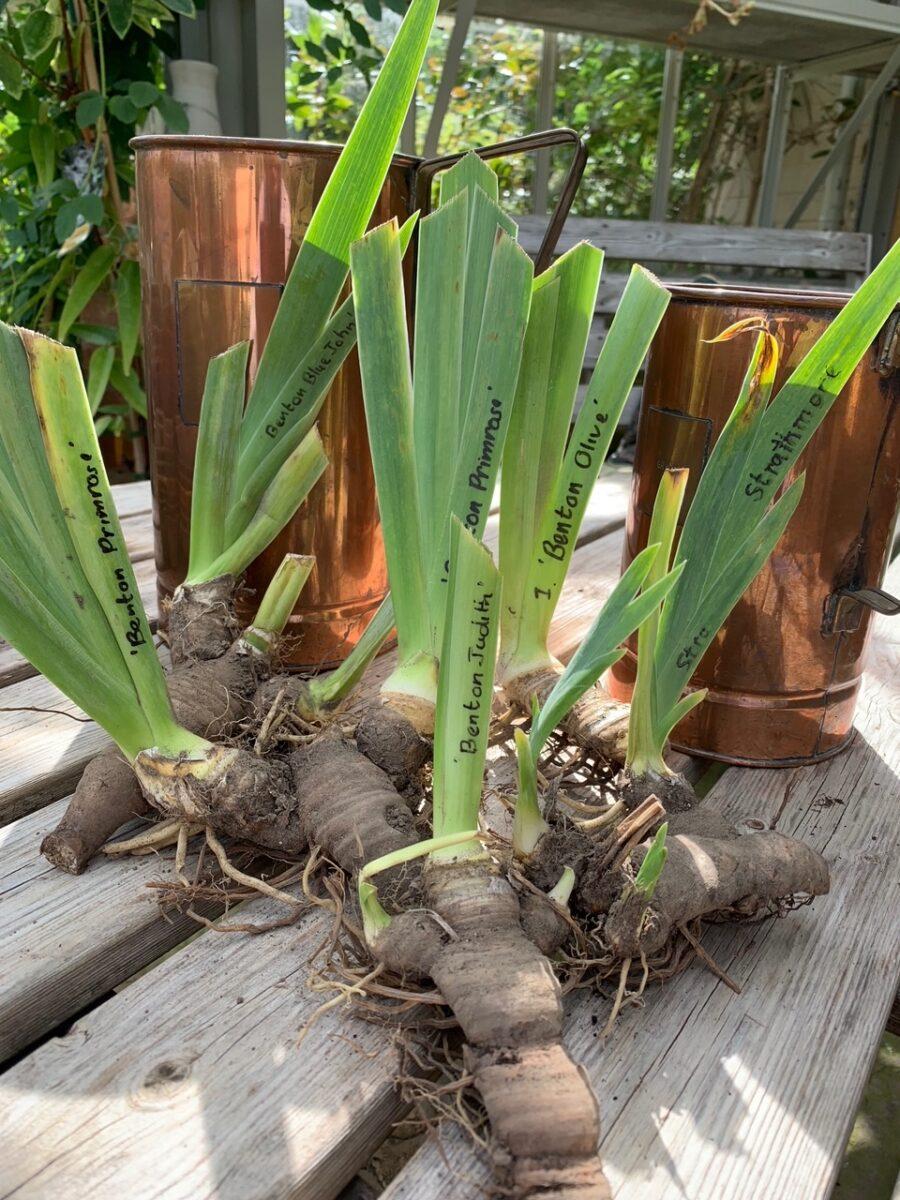 Benton iris rhizomes